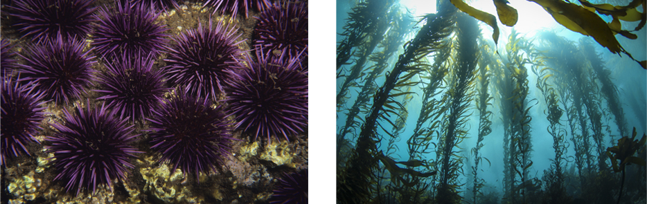 urchin and kelp forest