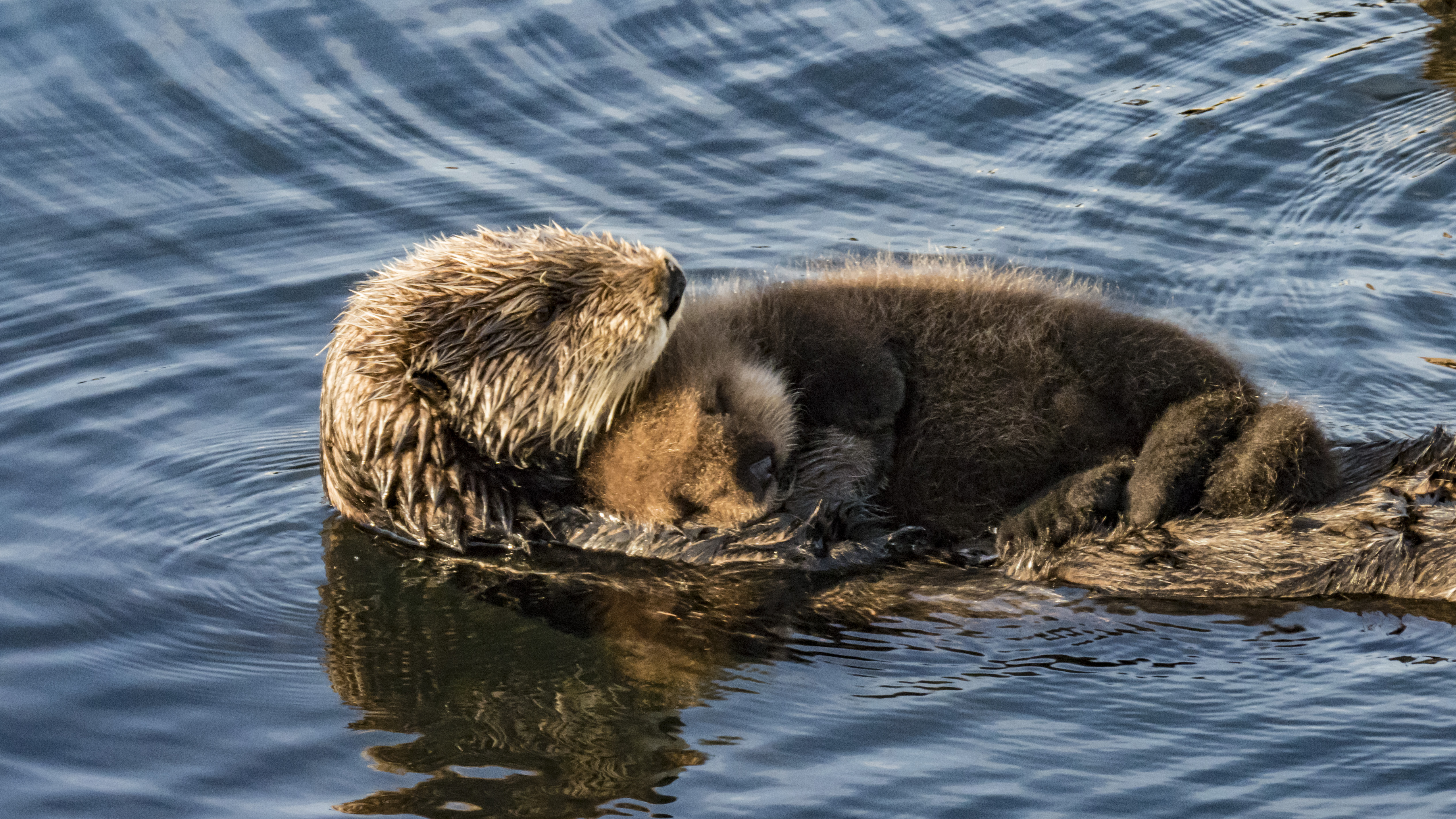 Sea Otter Holding Pup