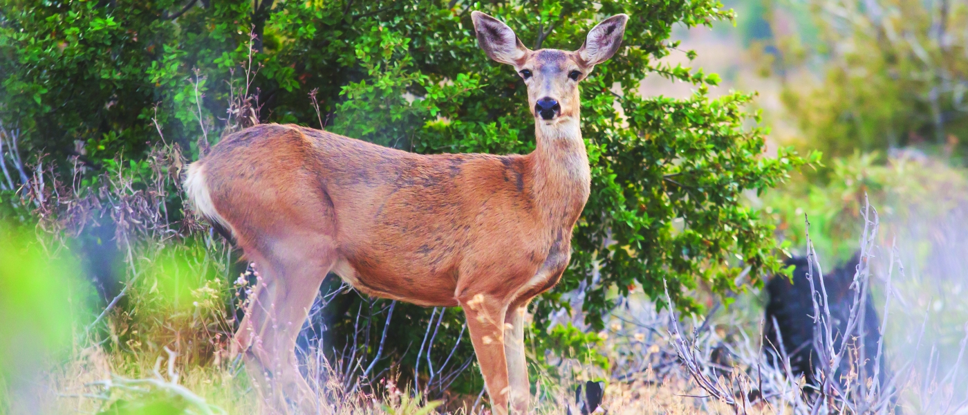 black-tailed-deer_stock.jpg