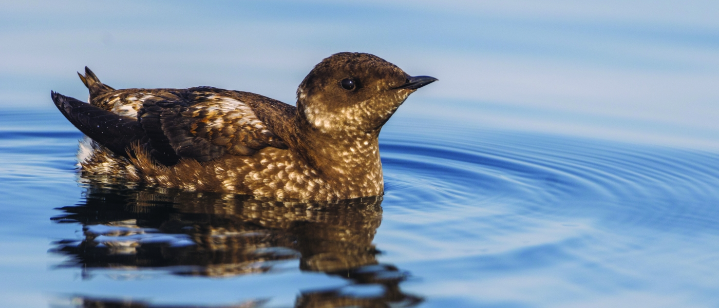 marbled-murrelet_stock.jpg