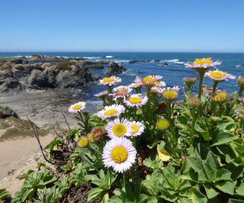 2017-june-potm-seaside-daisies-mackerricher-sp-c-katie-eskridge.jpg
