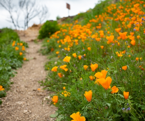 Poppies at Malibu Creek State Park